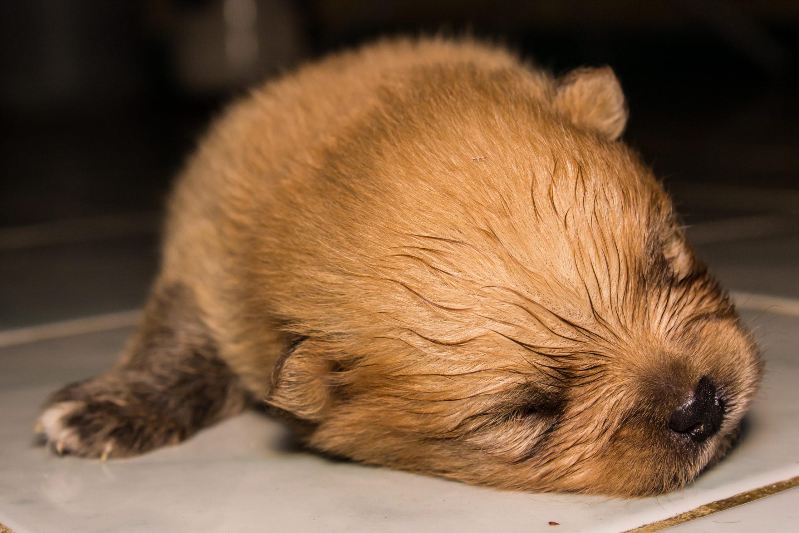 Fluffy Pomeranian puppy, sleeping.